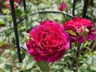 黒赤紫のバラ「ムンステッド・ウッド」の8分咲きの花姿。