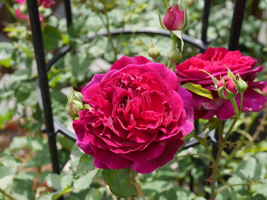 黒赤紫の「ムンステッド・ウッド」の8分咲きの花姿。