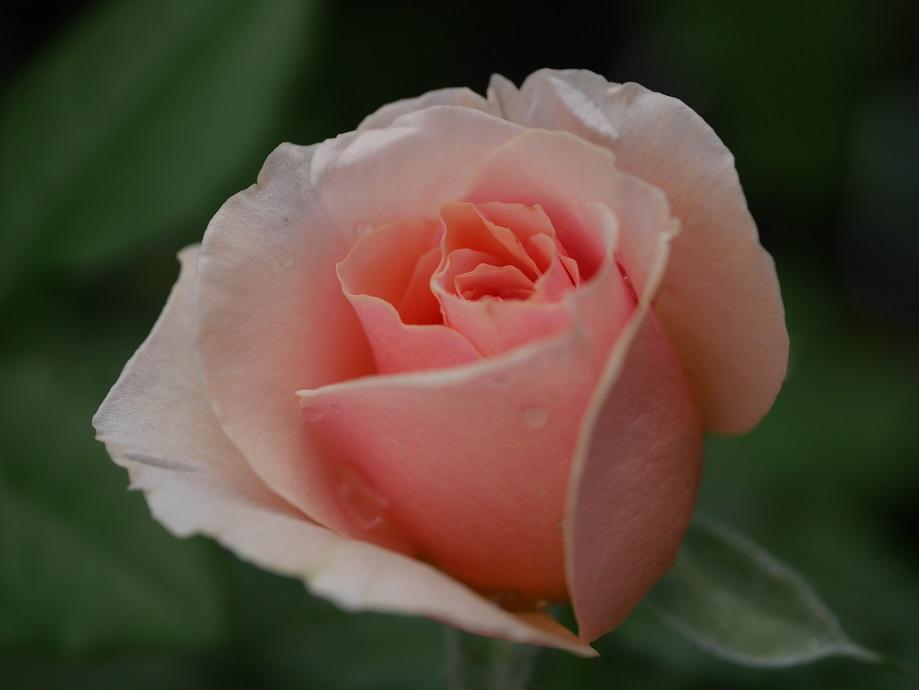 「ブライダル・ピンク」の4分咲きの花姿。[撮影者:花田昇崇]