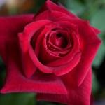 最高級の花びらと強香の黒バラ[パパ・メイアン]の栽培実感