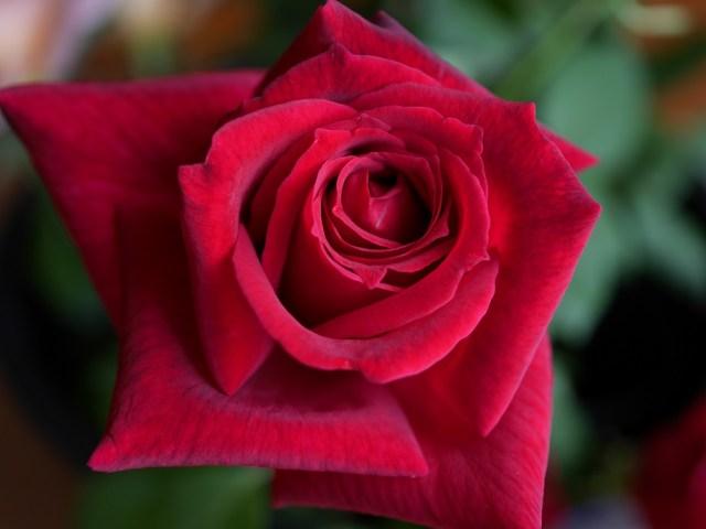 当サイトのコンテンツ「強香で食用にも使える花弁。黒バラの銘花[パパメイアン]の栽培実感」のアイキャッチ画像。