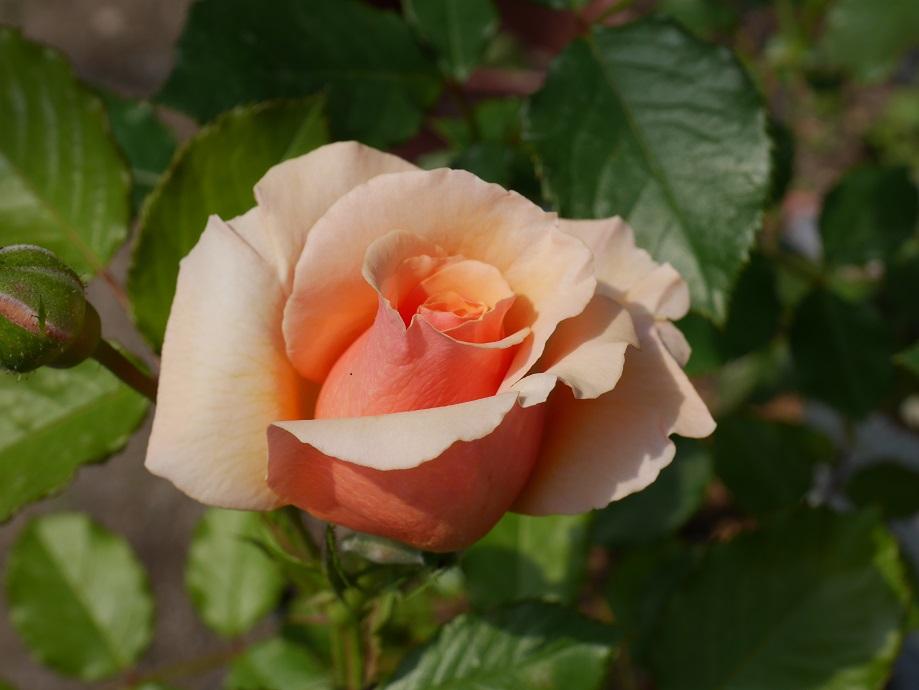6分咲きの「フレグラント・アプリコット」。