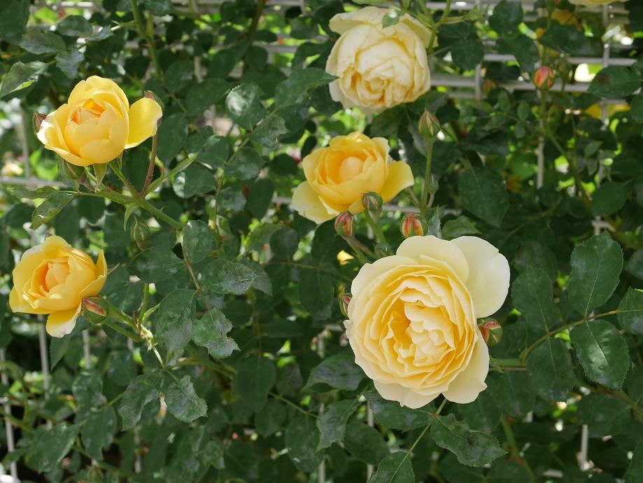 黄色の「グラハム・トーマス」の8分咲きの花姿。