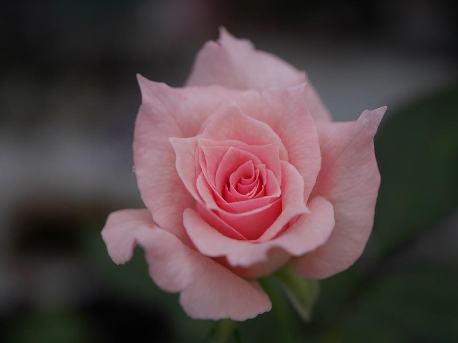 「ブライダル・ピンク」の6分咲きの花姿。