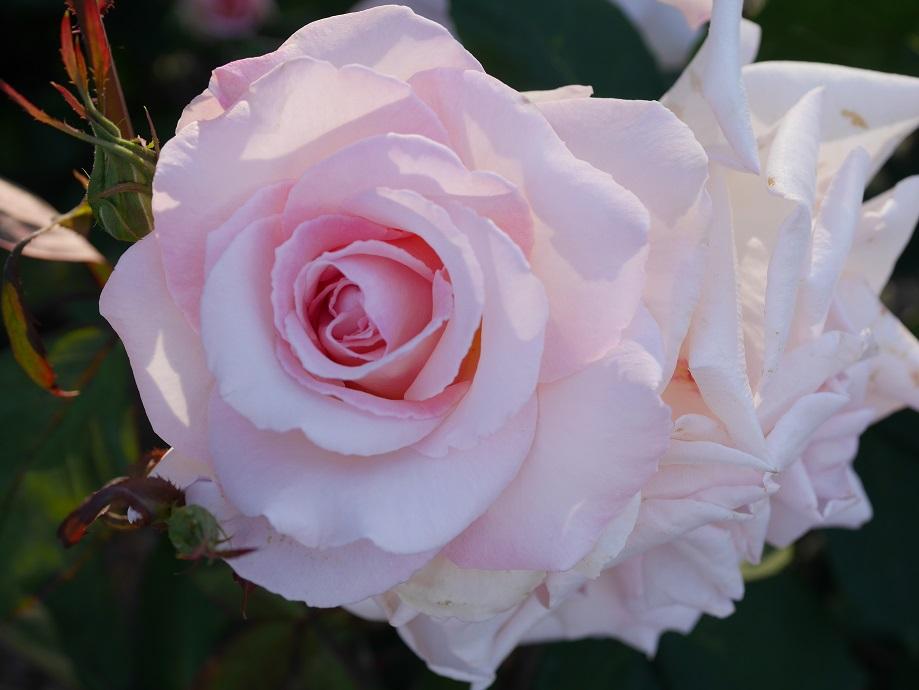 「ホワイト・ディライト」の花姿。