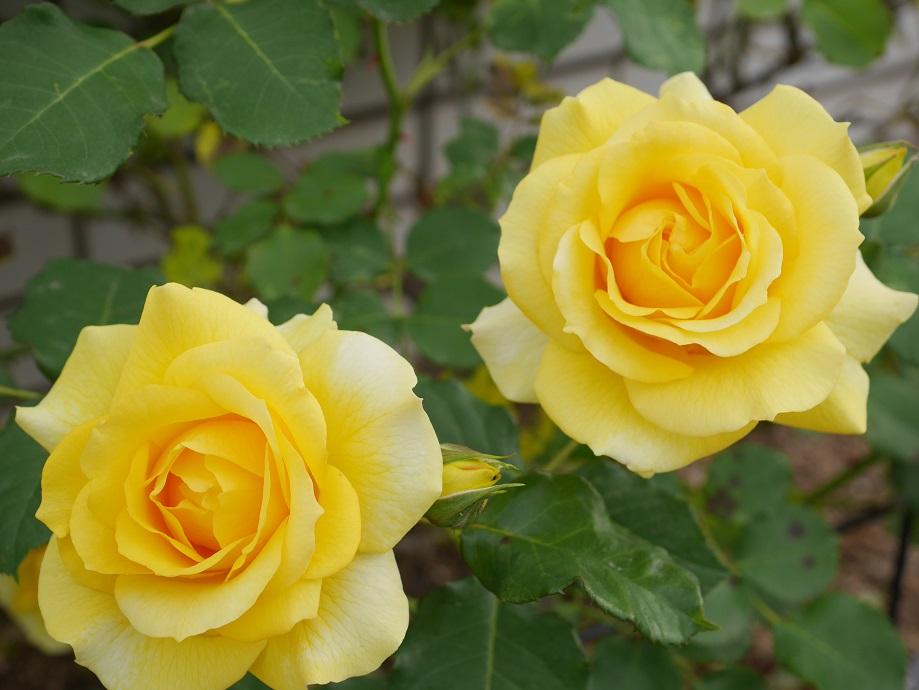 黄色の「ゴールド・バニー」の8分咲きの花姿。ゴールド・バニーが2輪写っている。
