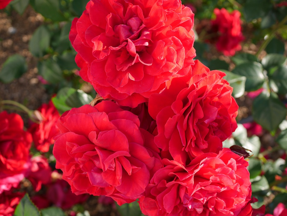 福山で誕生した赤バラ「ウルバリン」が満開に咲き誇った写真。[花田昇崇が撮影]