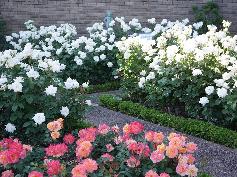 「ハッセルトのバラ」コーナー内で咲くバラ。「アンネフランクの思い出」と「パスカリ」。