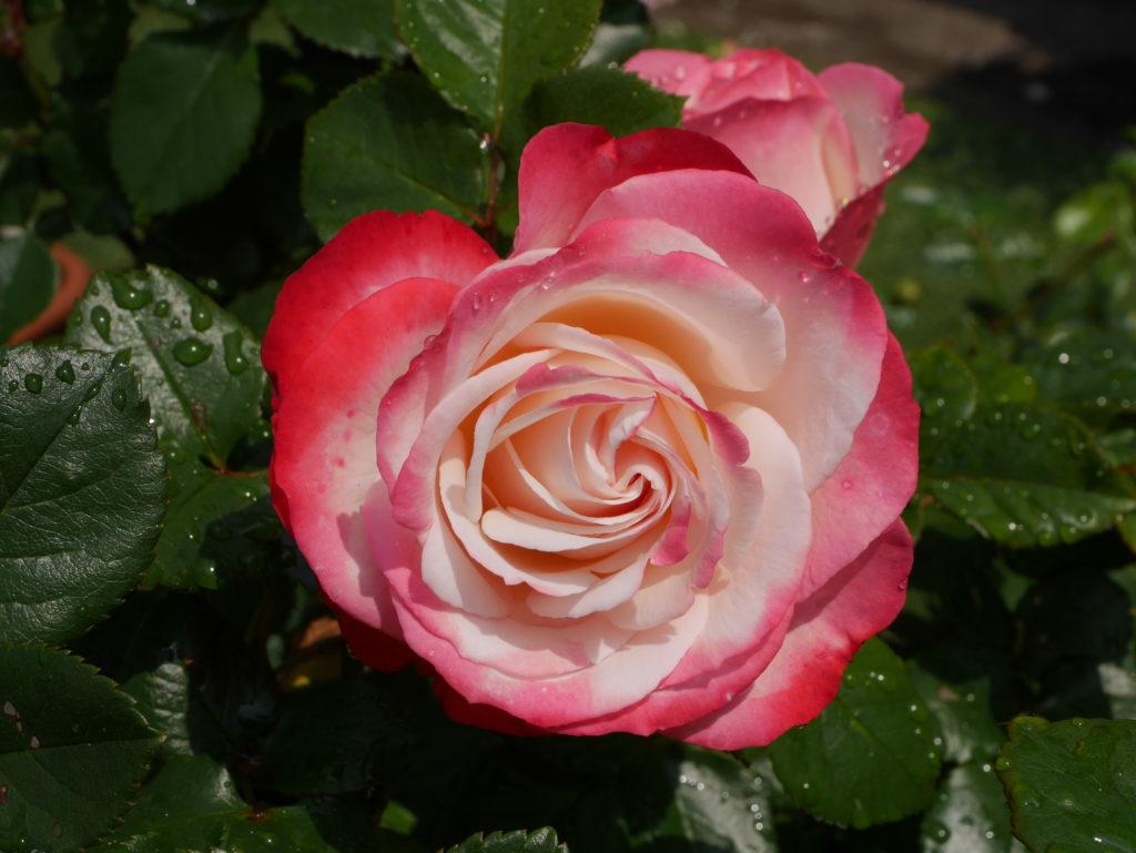 「ノスタルジー」の8分咲きの花姿。