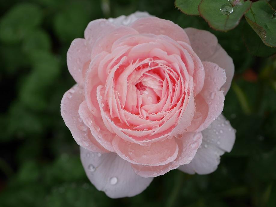 水滴を受けているクィーン・オブ・スウェーデンの7分咲きの花姿。