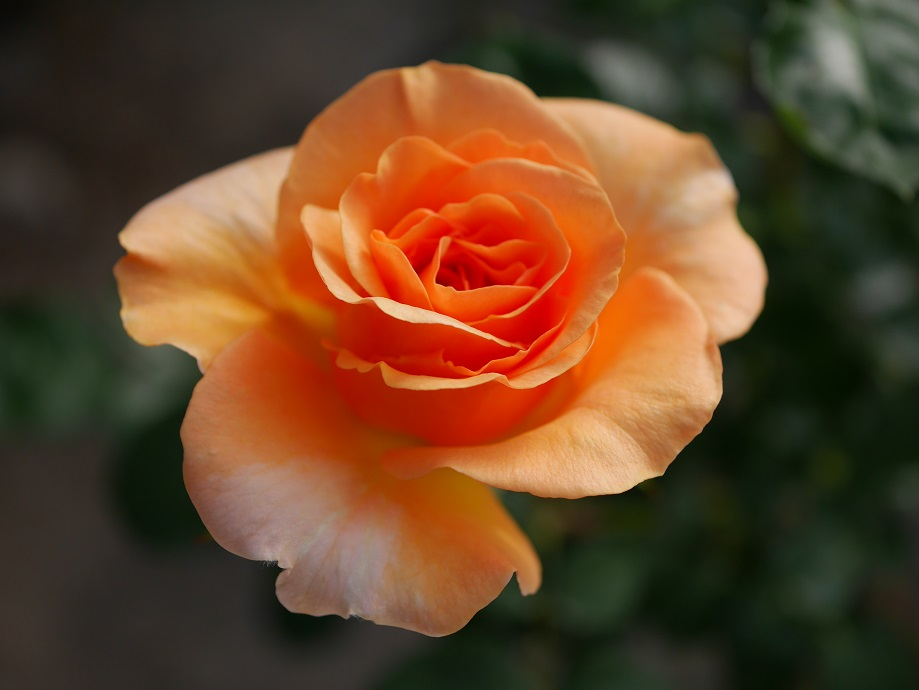 淡いオレンジ色の「ガーデン・グローリー」の8分咲きの花姿。[撮影:ローズフェスタ]