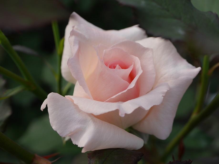 「ブライダル・ピンク」の8分咲きの花姿。[撮影者:花田昇崇]