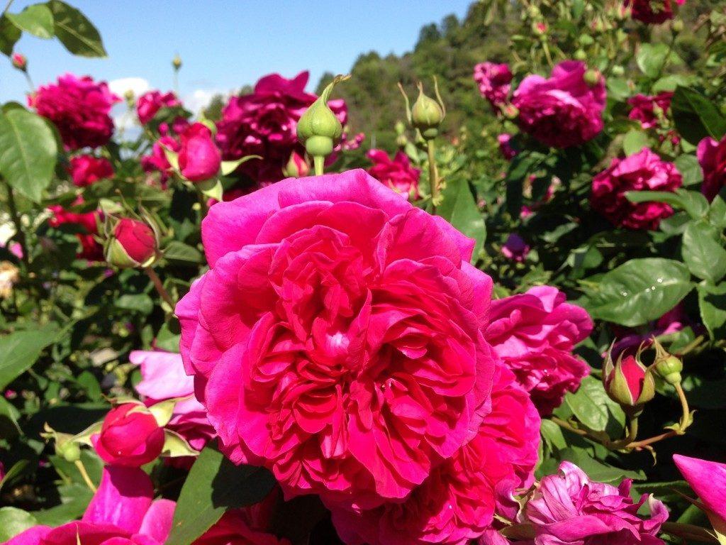 イングリッシュローズ「ザ・ダーク・レディ」の満開の花姿。デビットーオースチン・ローゼズで撮影した。