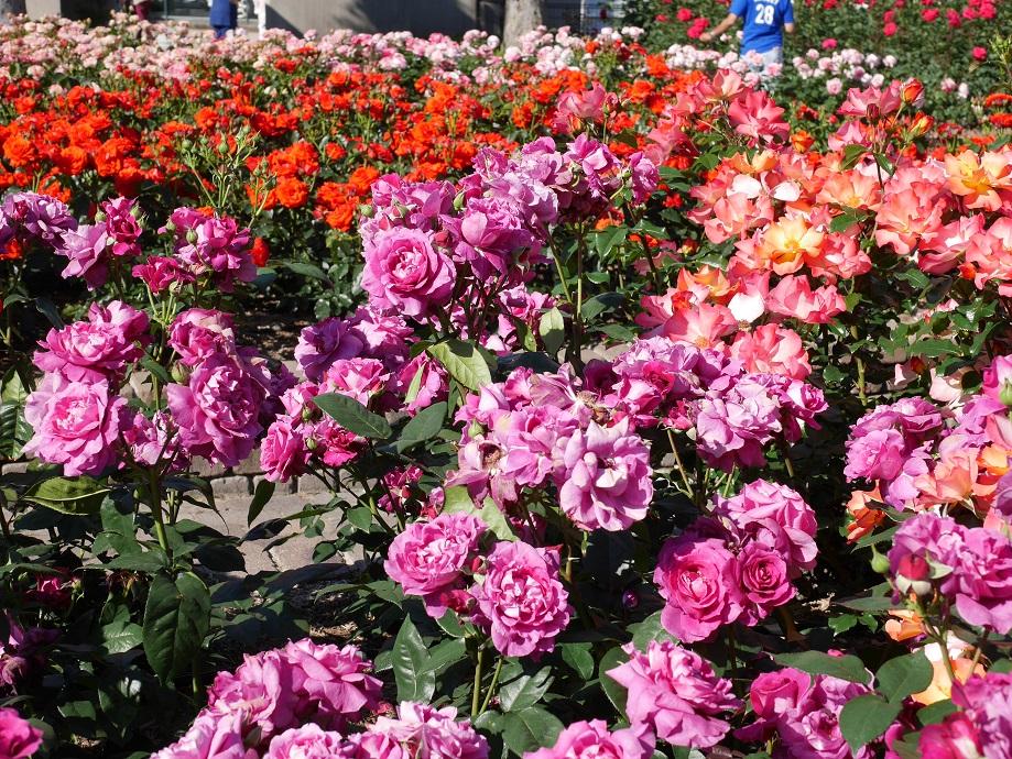 荒牧バラ公園の園内。バラが咲き誇る。