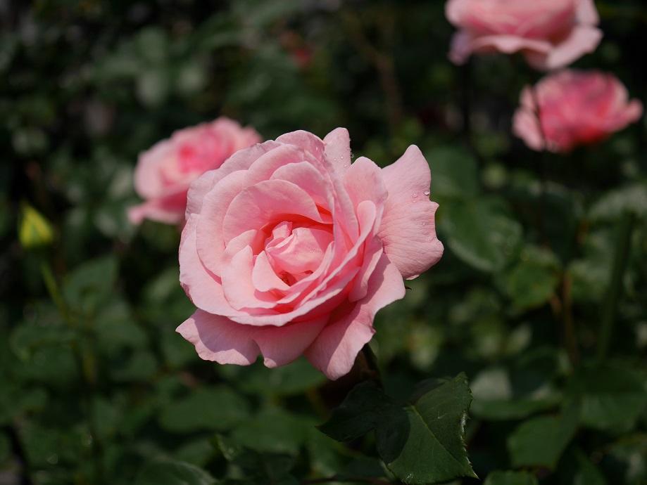 「クィーン・エリザベス」の10分咲きの花姿。