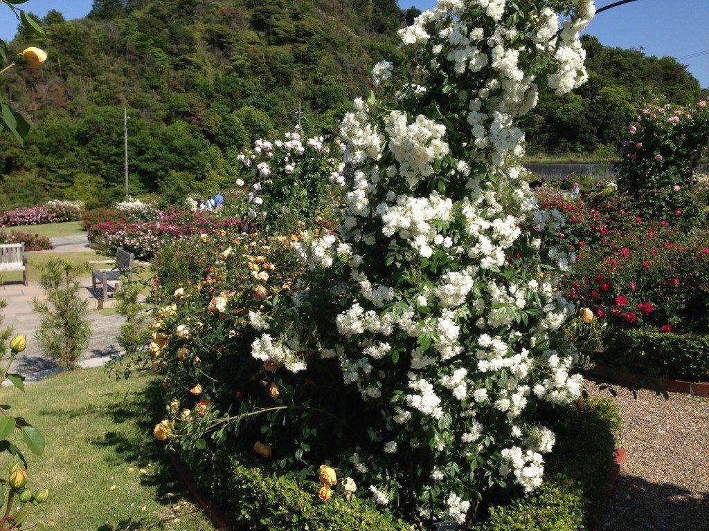 「デビットーオースチン・ローゼズ」園内(大阪市泉南市)を写した写真。