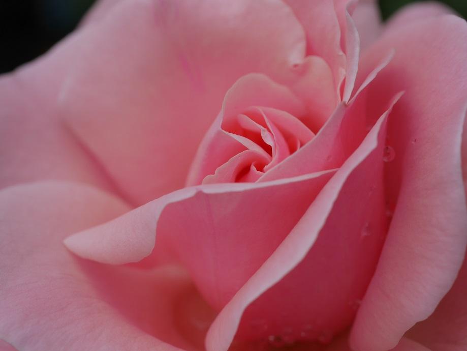 拡大した「クィーン・エリザベス」の花びら。