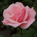 強健で枯れにくいバラ。栄誉の殿堂[クイーン・エリザベス]の栽培実感