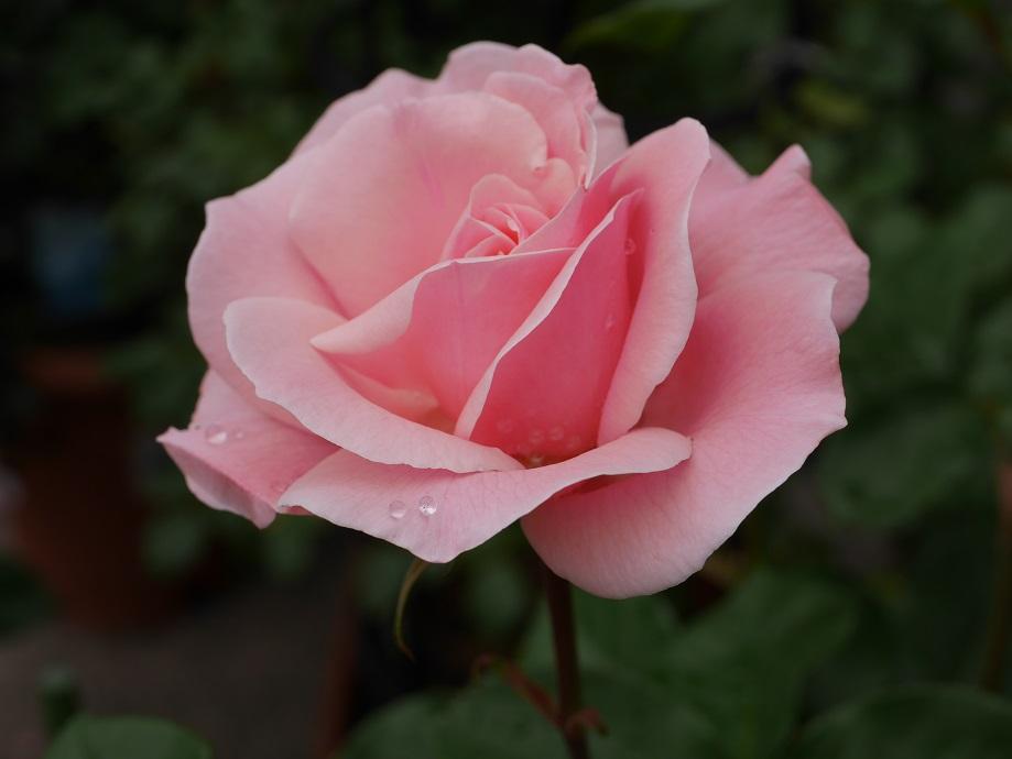 バラ「クィーン・エリザベス」の花姿。[撮影:花田昇崇]