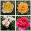 コンテンツ「平和の願いが込められたバラ」のアイキャッチ