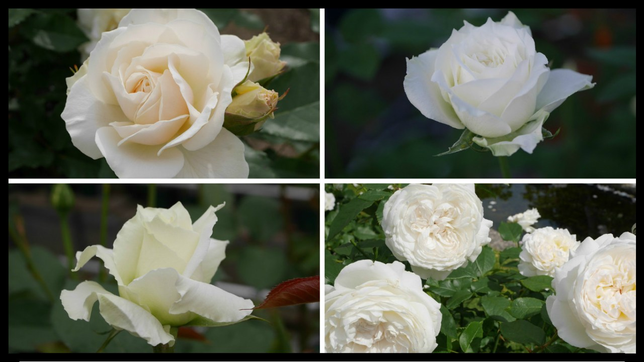 当サイトコンテンツ「おススメの白バラ|200種以上から選んだお勧め品種」のアイキャッチ