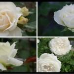 おススメの白いバラ|200種類以上から選んだお勧め品種