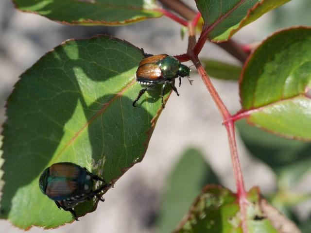バラの害虫の「コガネムシ」が2匹、バラの葉の上に乗っている写真。
