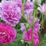 シュラブってなに? 多様・多彩なバラの個性が集まるシュラブの魅力