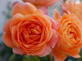 画面いっぱいに咲いたイングリッシュローズ「レディ・エマ・ハミルトン」の花姿。[撮影:花田上昇崇拝]