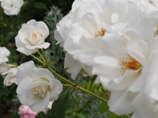 純白のバラ「アイス・バーグ」の花姿。