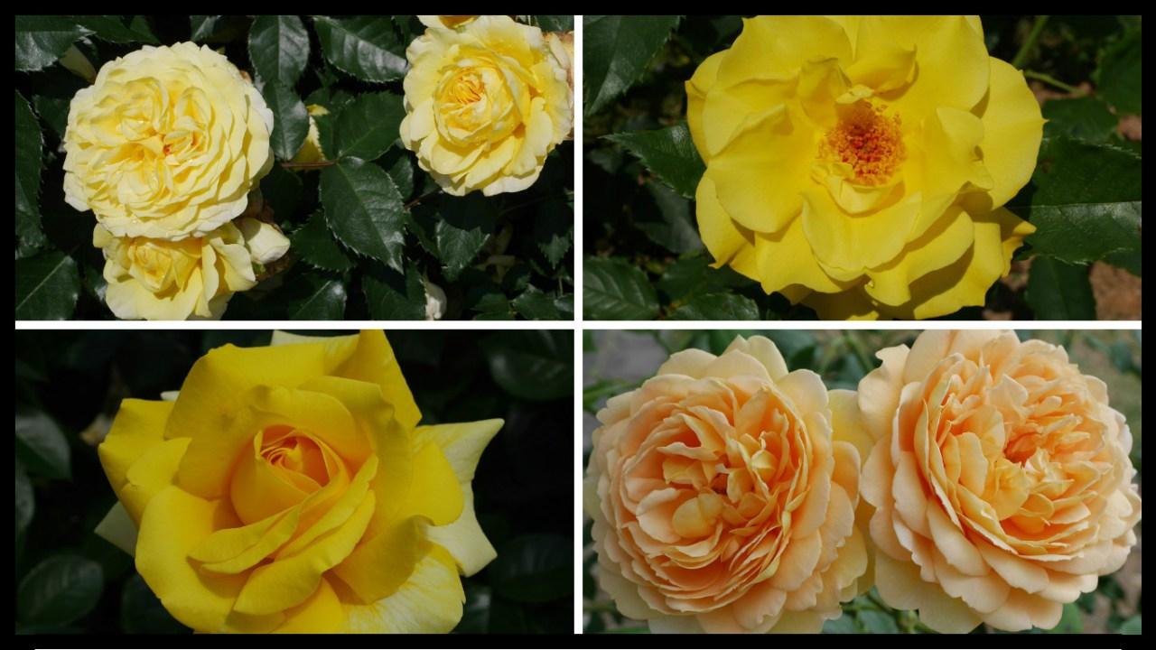 当サイトのコンテンツ「交錯する愛憎の花言葉。黄色いバラの紹介|100種類以上から選んだお勧め品種」用のアイキャッチ。