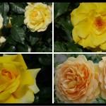 交錯する愛憎の花言葉。黄色いバラの紹介|100種類以上から選んだお勧め品種