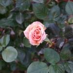 修養場に灯るオレンジのバラ[アシュラム]の栽培実感
