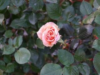 濃緑の葉のなかに一輪咲いているオレンジのバラ「アシュラム」の花姿。
