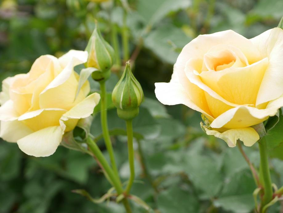 コロンとしたかわいい丸弁咲きの花が房になって咲く黄色のバラ「ハニー・ブーケ」の花姿。
