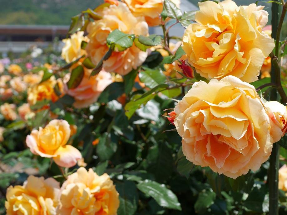 アプリコット色からオレンジ色へと色味が変化するバラ「万葉」が咲きほこる写真。[撮影者:ローズフェスタ]