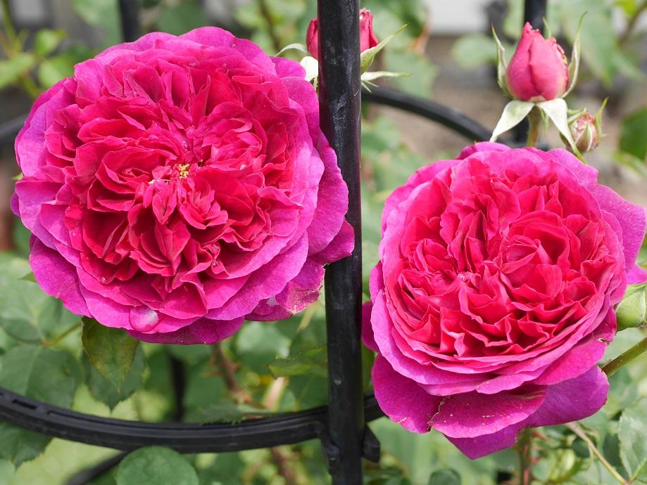 2輪のバラ「ムンステッド・ウッド」の花姿。[撮影者:ローズフェスタ]