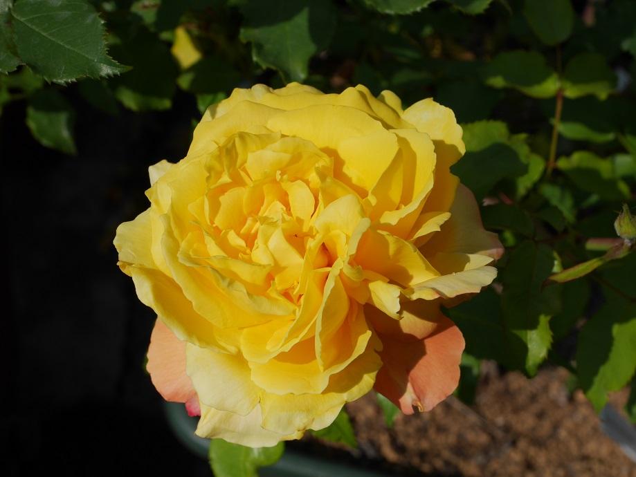 濃い黄色のカップ咲きのバラ「トロピカル・シャーベット」の花姿。