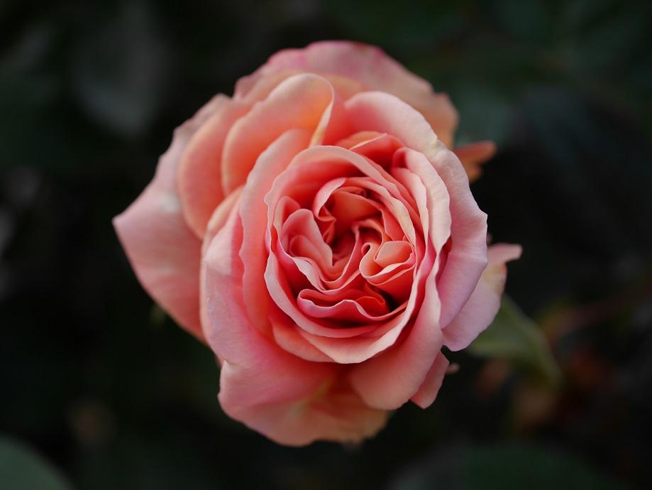 バラ「アシュラム」の春の一番花の花姿。
