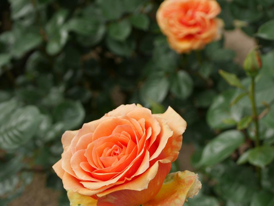 バラ「アシュラム」が2輪開花した花姿。[撮影者:ローズフェスタ]
