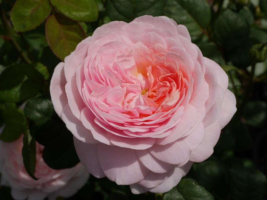 ソフトピンクのカップ咲きのバラ「クィーン・オブ・スウェーデン」の花姿。