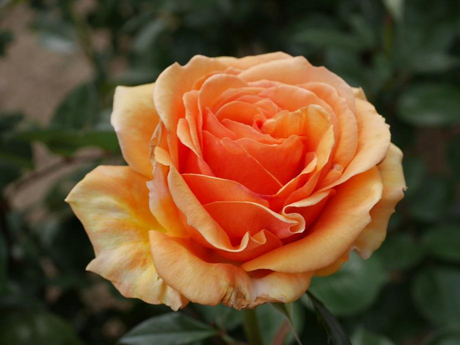 オレンジの大輪バラ「アシュラム」の美しい花姿。