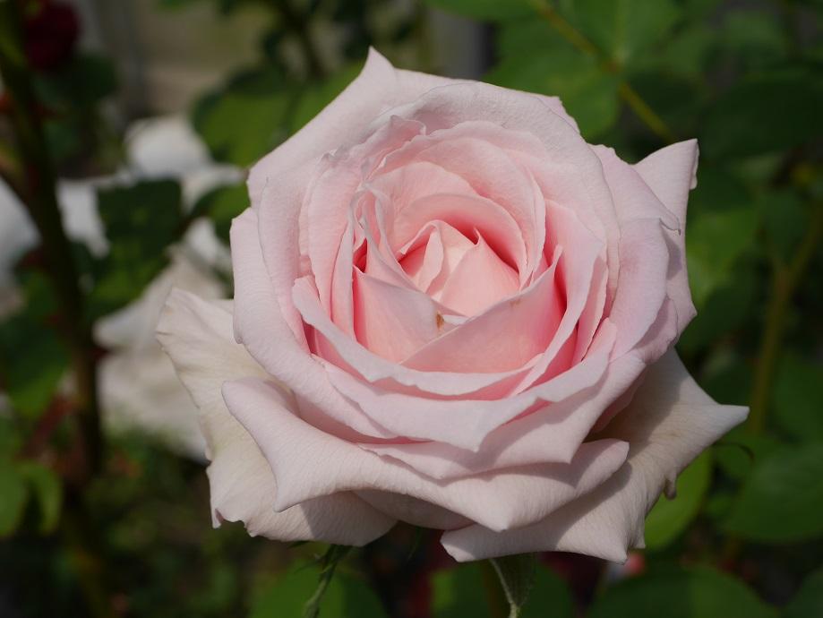 サーモンピンク色の剣弁高芯咲きのバラ「サマー・レディ」の花姿。