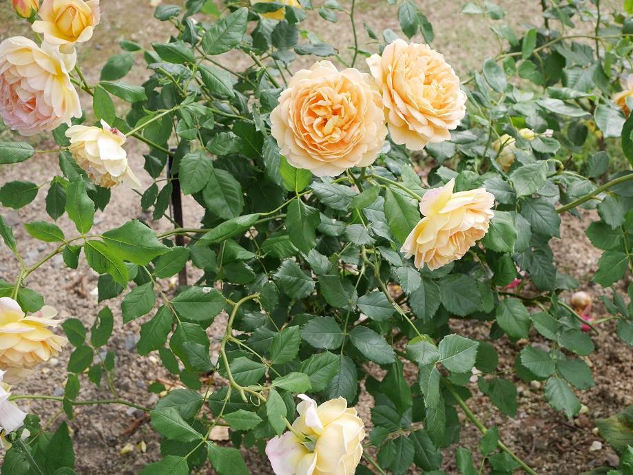 画面いっぱいに咲くイングリッシュローズ「ゴールデン・セレブレーション」の花姿。