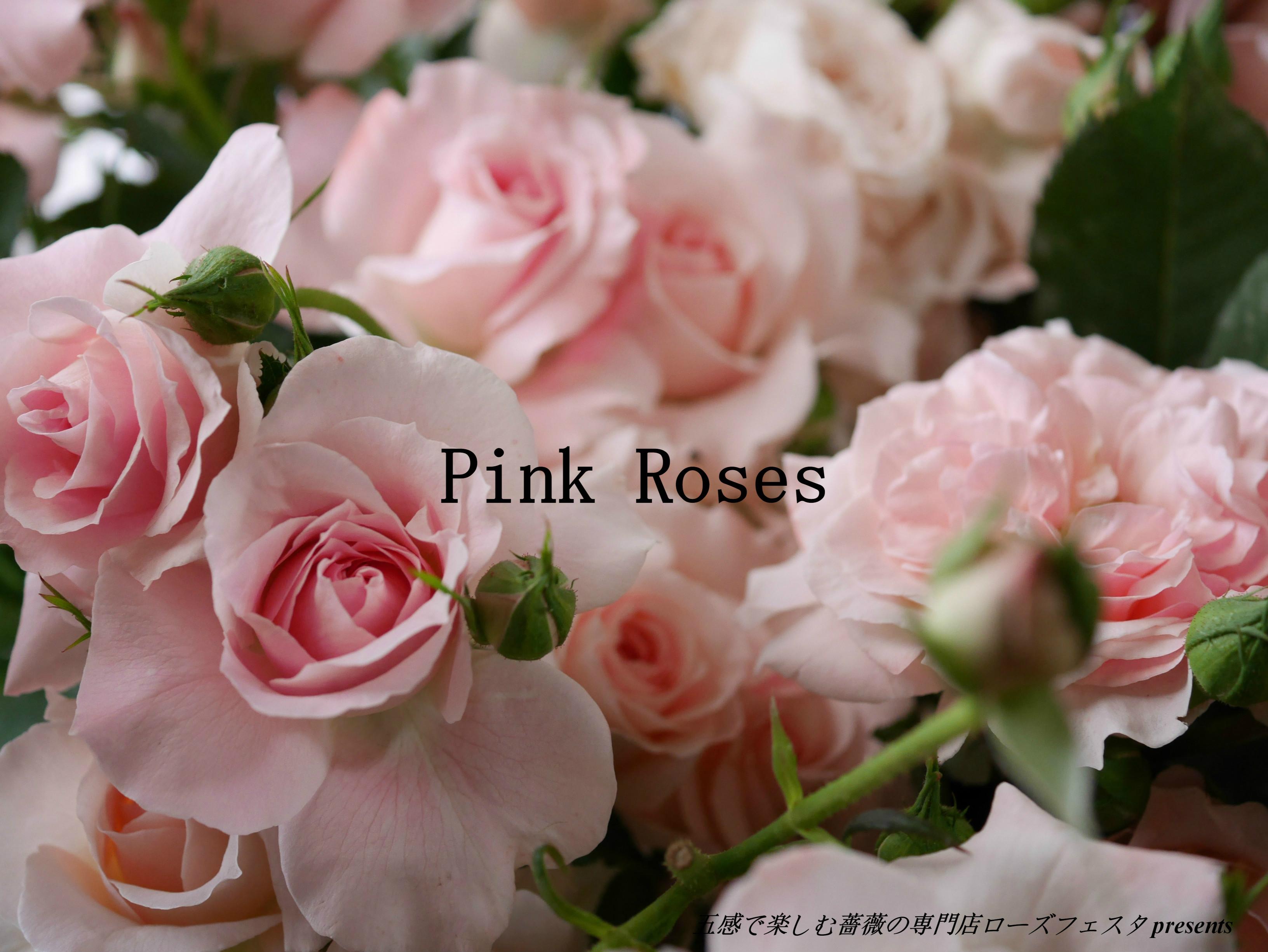 ローズフェスタで収穫したピンク系統のバラを写真いっぱいに敷き詰めた美麗写真。