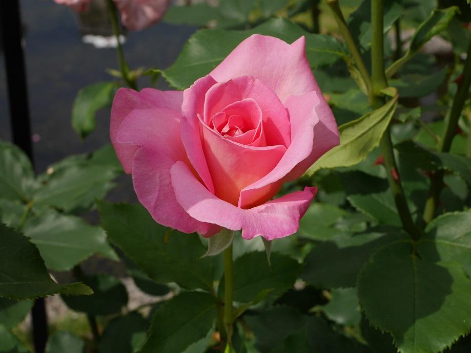 ピンクの半剣弁高芯咲きのバラ「ティファニー」の花姿。[撮影者:ローズフェスタ]
