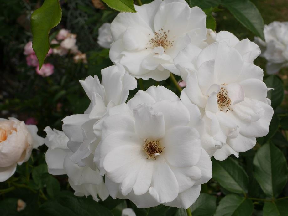 花びらが開いた「アイス・バーグ」の花姿。