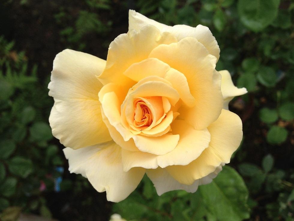 黄色のバラ「イエロー・クイーン・エリザベス」の花姿。