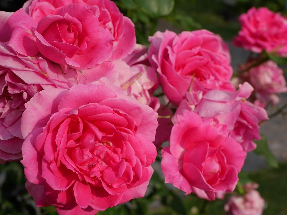 ローズピンク色の丸弁カップ咲き~ロゼット咲きのバラ「パレード」の花姿。