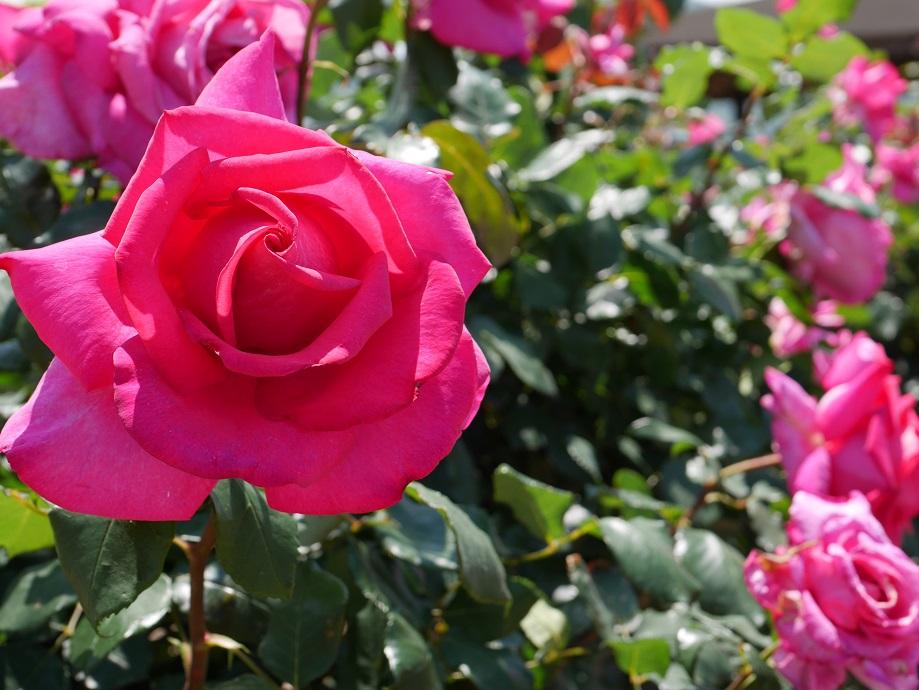 マジェンタピンクの剣弁高芯咲きのバラ「パローレ」の花姿。